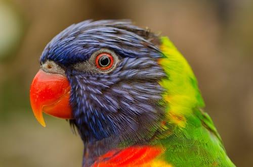 testa pappagallo